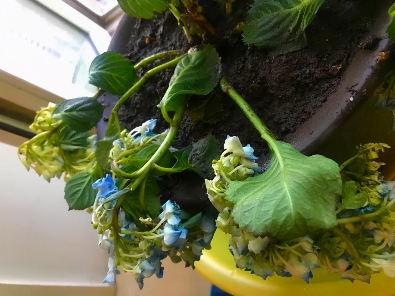 每年4月养绣球花,抓住5个要点,不出3周就是大花苞 家务 卫生 第6张