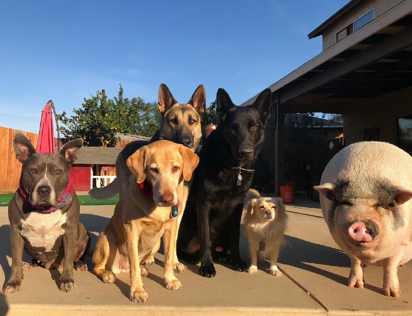 狗狗能不能吃猪肉?为什么狗粮中看不到猪肉的成分?