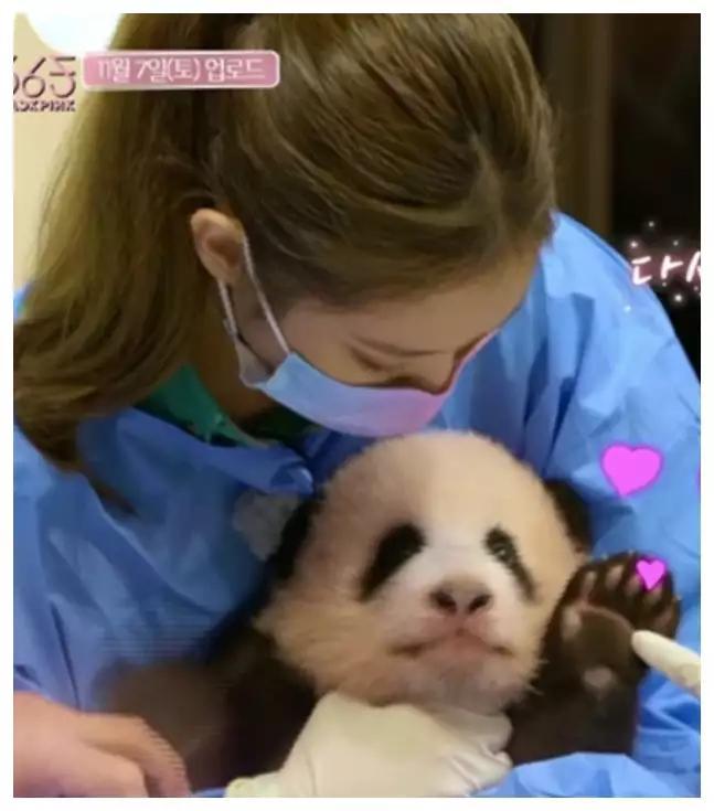BLACKPINK近距离接触熊猫宝宝惨遭抨击:把国宝带回来
