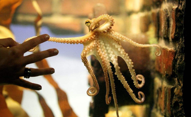 章鱼基因数量超3万,拥有3个大脑6个心脏,不像地球生物-第2张图片-IT新视野