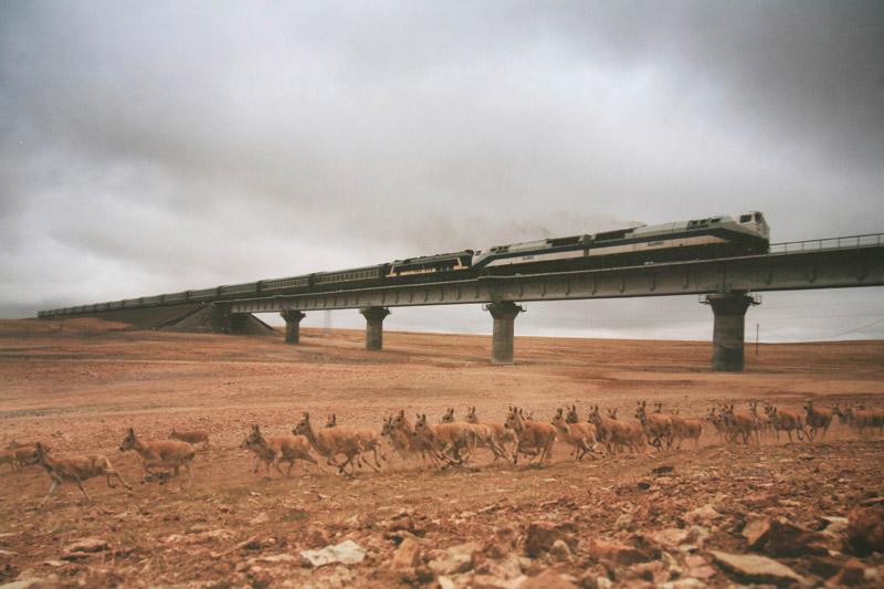高原精灵藏羚羊:产前克服高寒缺氧,躲避猛兽,穿行千里去产崽