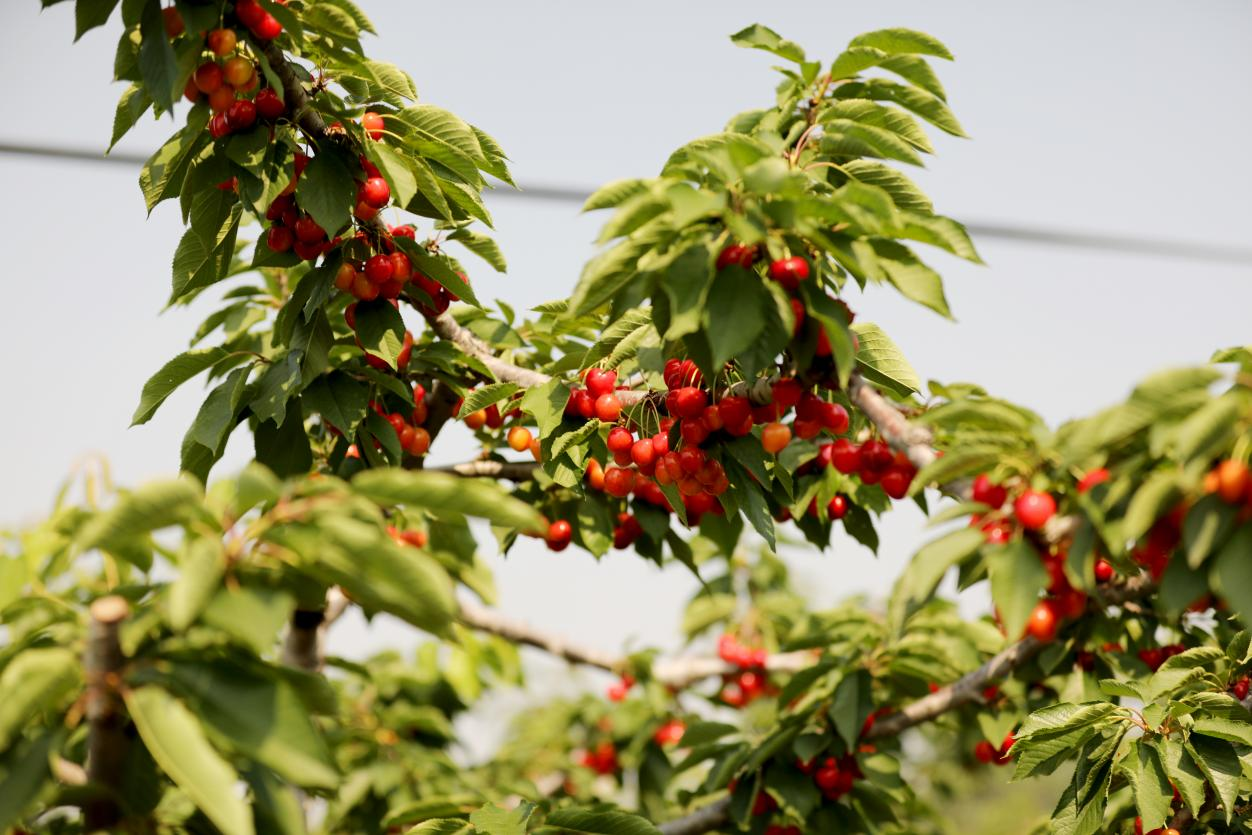 采摘正当时 荥阳市广武镇2200余亩樱桃已红