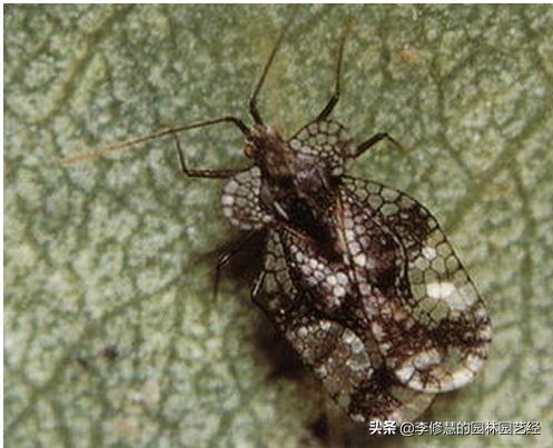 如何防治三种常见的园林害虫? 病虫害防治 第3张