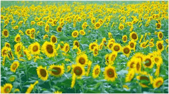 花海里说丰年!英山首届农民丰收文化旅游节在四季花海圆满举行