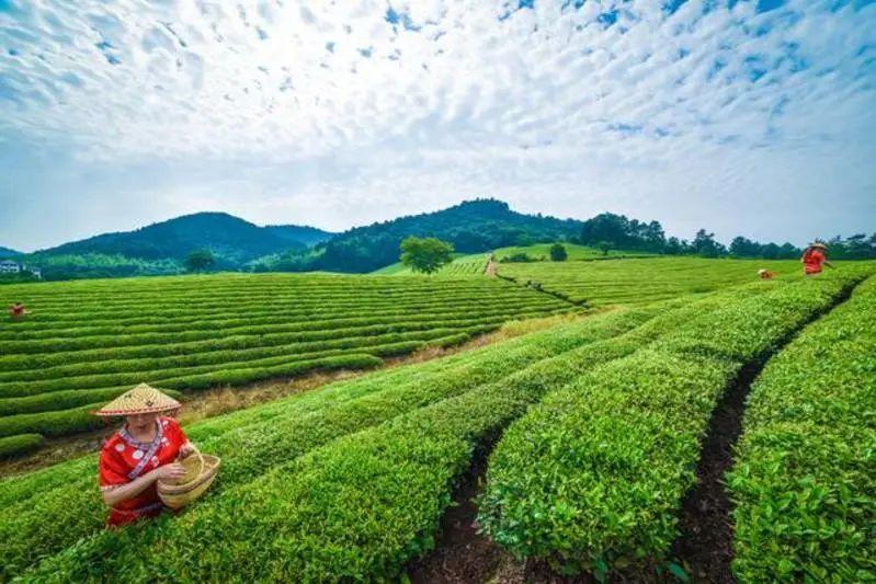 中国的名茶(二)