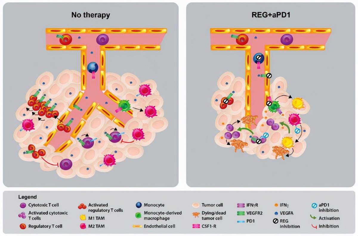 【结直肠癌】瑞格非尼增强小鼠结直肠癌抗效果及其联合应用预防肿瘤再生长