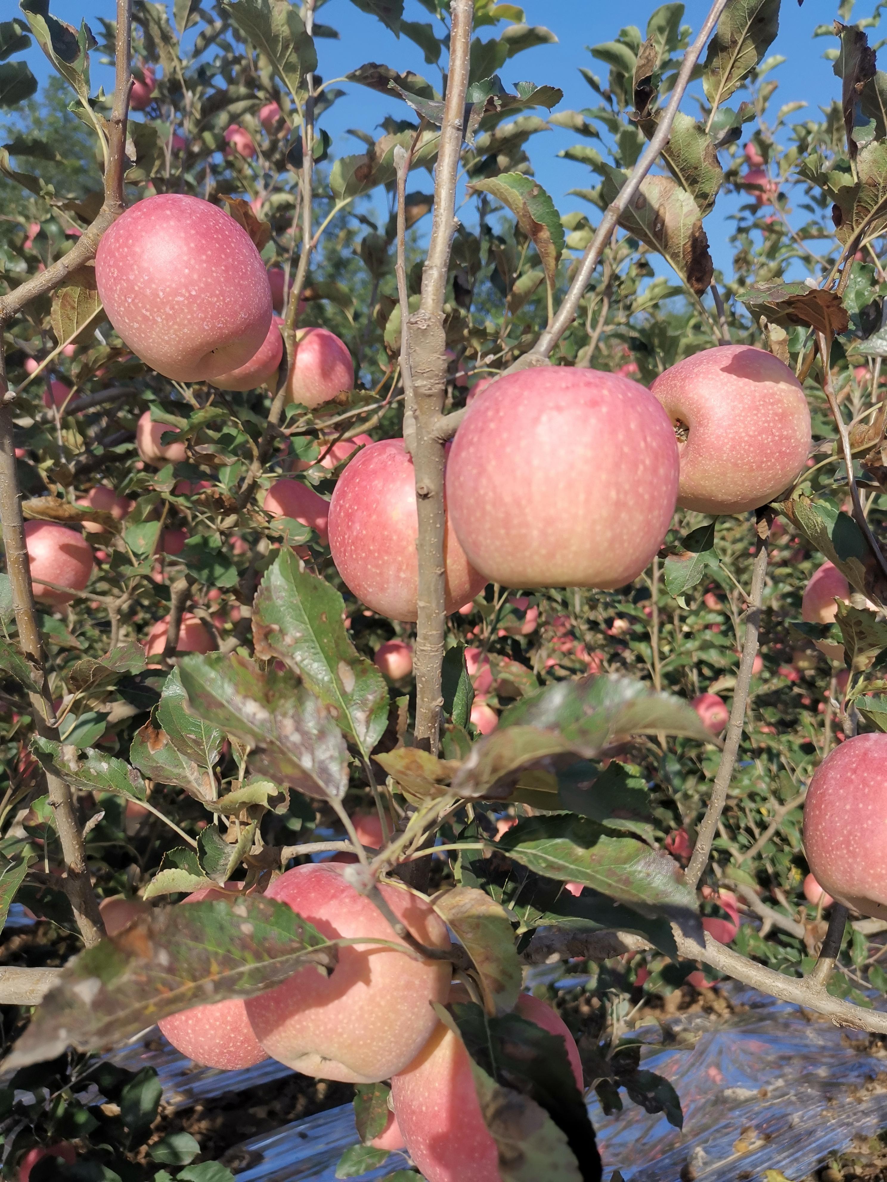 初夏观花、秋季赏果品味的富平曹村镇苹果,与柿子一样成为美景