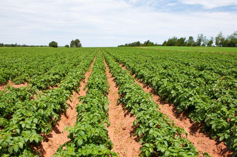 手把手教你种马铃薯!掌握高产栽培技巧,一棵能结一大堆