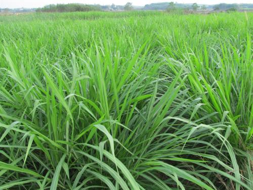 牧草知识:亩产20余吨,皇竹草主要价值与种植技术分析