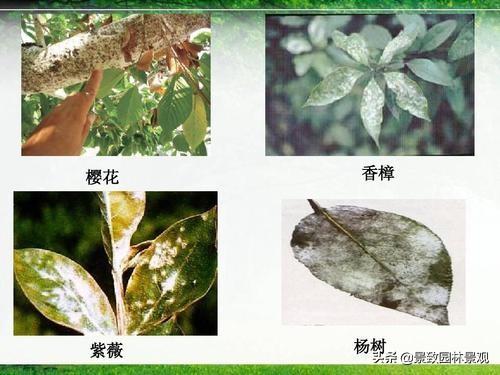园林植物常见病虫害汇总(收藏篇),或许对你有用!持续更新 病虫害 第4张