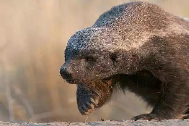 """""""平头哥""""蜜獾都被吹成了""""平头大仙"""",客观分析蜜獾的战斗力"""