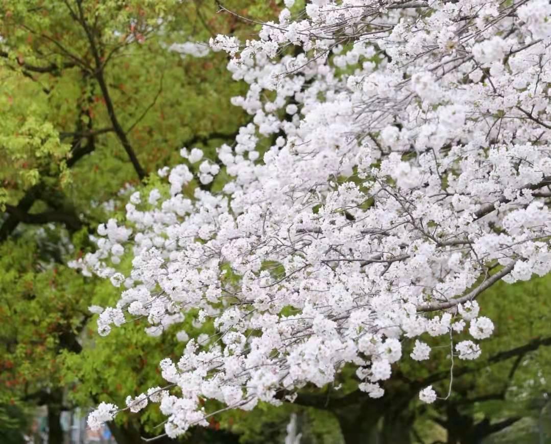宁波赏樱,这五大赏樱绝佳地,让人沉溺在繁花似锦的花花世界里