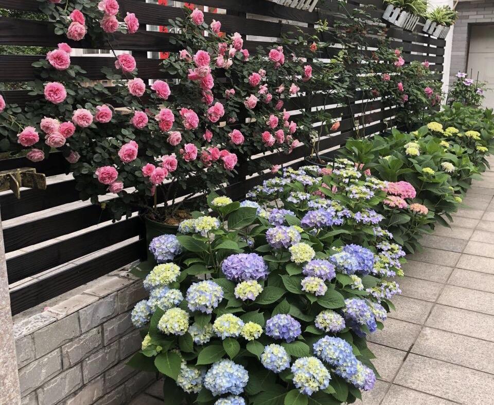 每年4月养绣球花,抓住5个要点,不出3周就是大花苞 家务 卫生 第9张