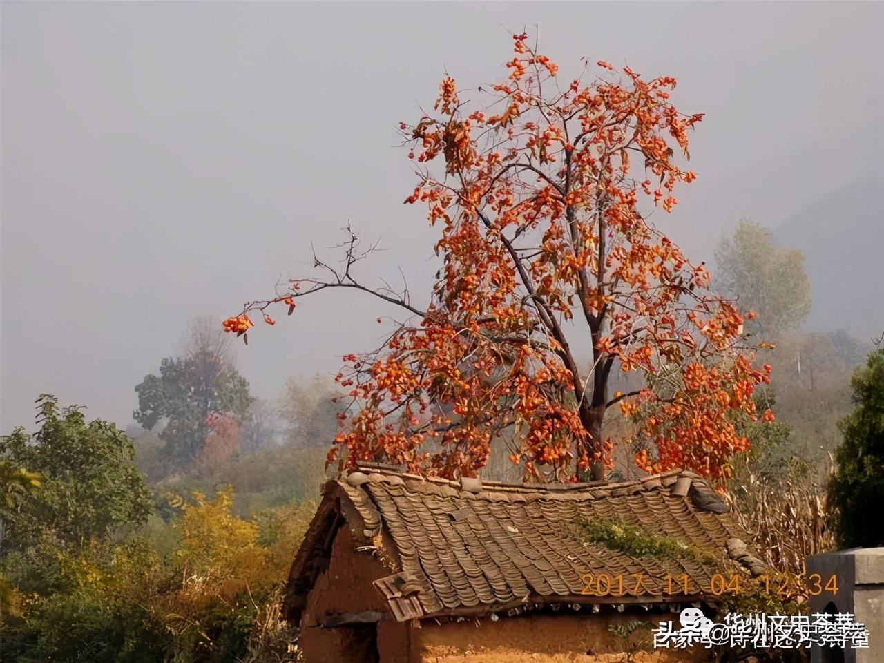 华州:三十里塬上柿子红