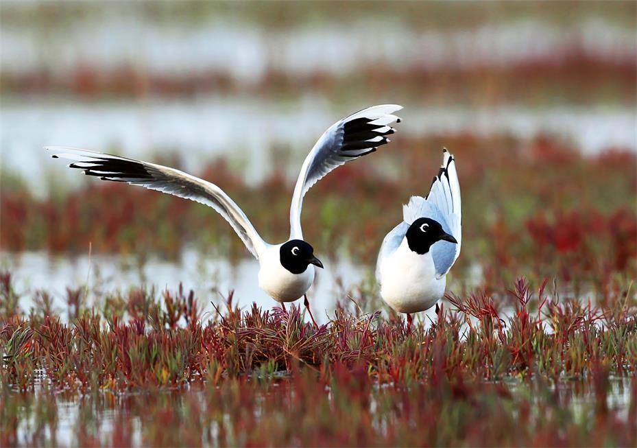 《黑嘴鸥及其繁殖地的保护》案例入选世界论坛