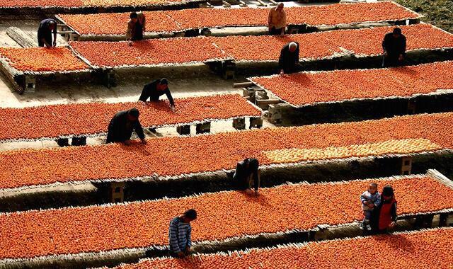 详解汉中洋县的柿子树和柿饼,风景和美味都不能错过