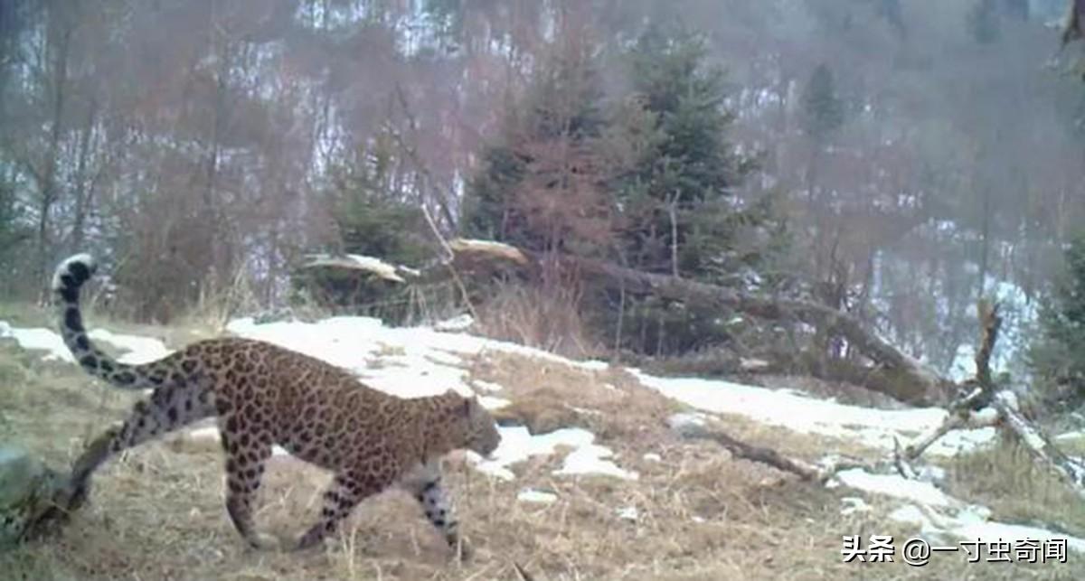 实属难得!首次人工拍摄到金钱豹现身秦岭,人与金钱豹仅相距30米