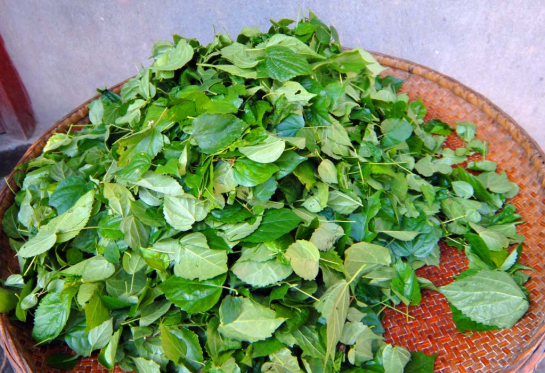 """神仙树叶:夏季做""""凉粉""""是一绝,俗称""""神仙豆腐"""",附制作方法 美食做法 第5张"""
