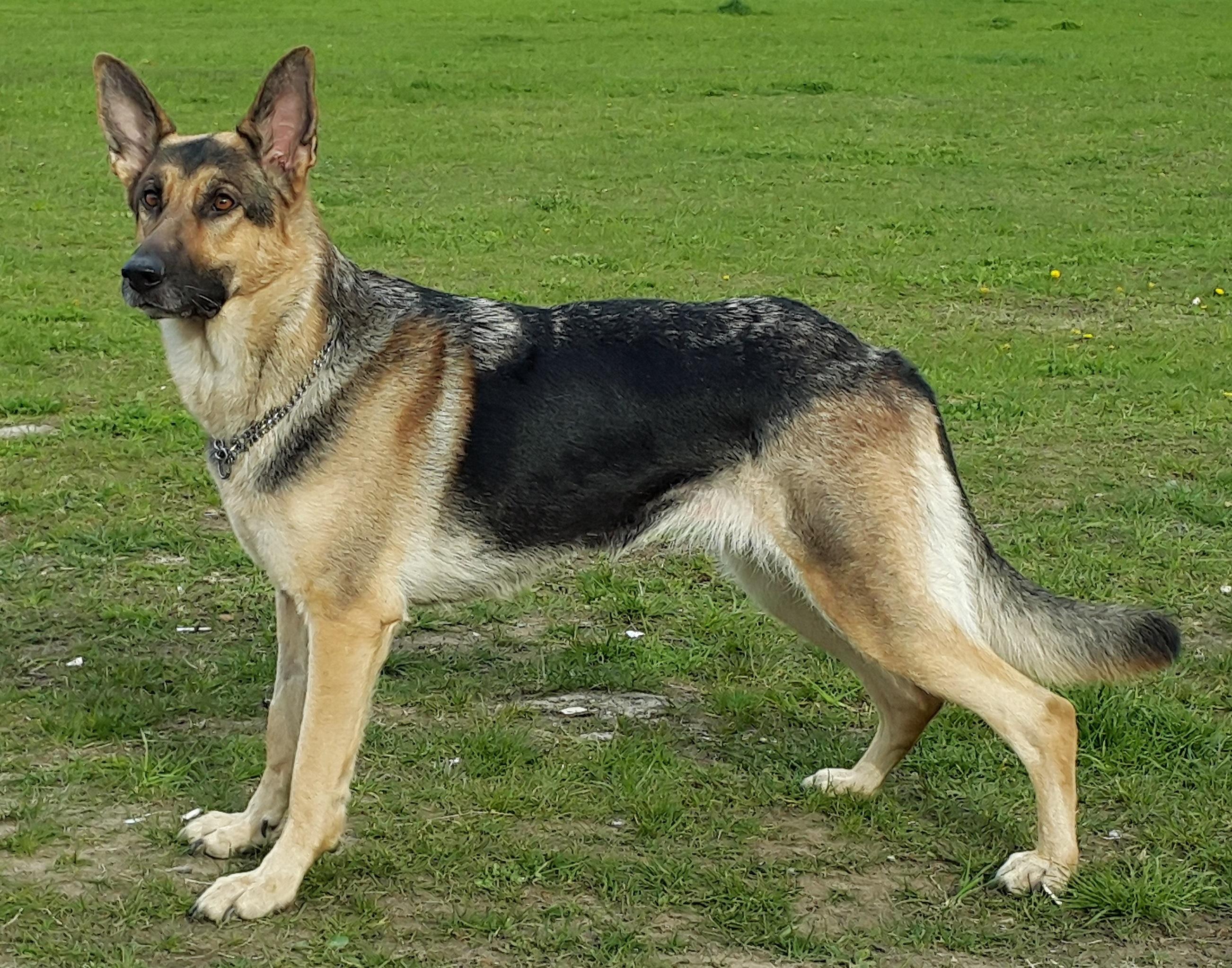 很多主人养德牧,但未必真正了解这种狗狗,关于德牧的6个秘密