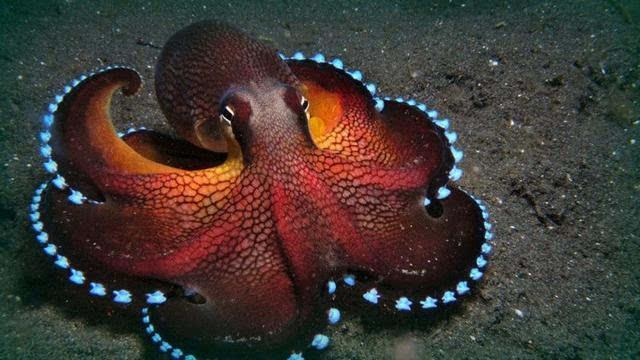 「章鱼」的智商:学习能力、记忆能力这么强,为什么不会进化成高等生物