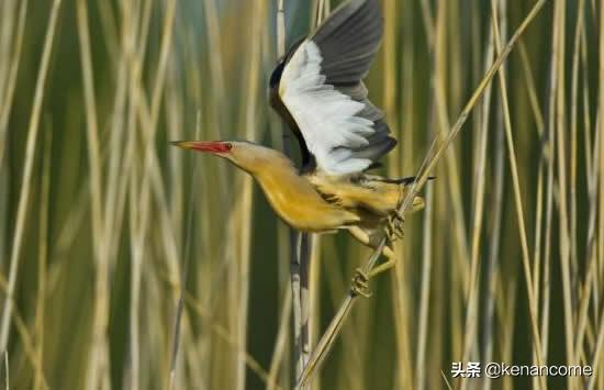 自然界有没有遇人就伪装成枯草的动物?新疆牧民找到一种神秘小鸟
