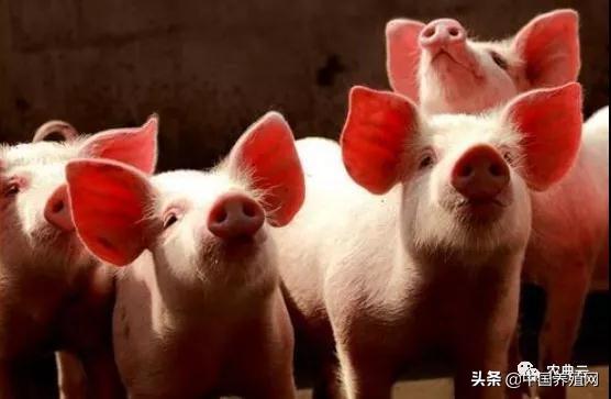 预防仔猪下痢十个妙招