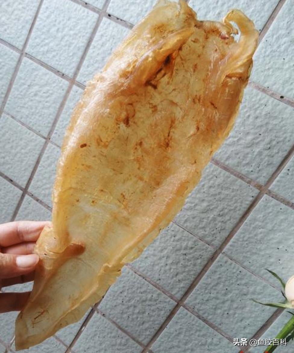 鱼胶百科|鱼胶知识科普,鱼胶的种类,花胶鱼胶有什么营养价值