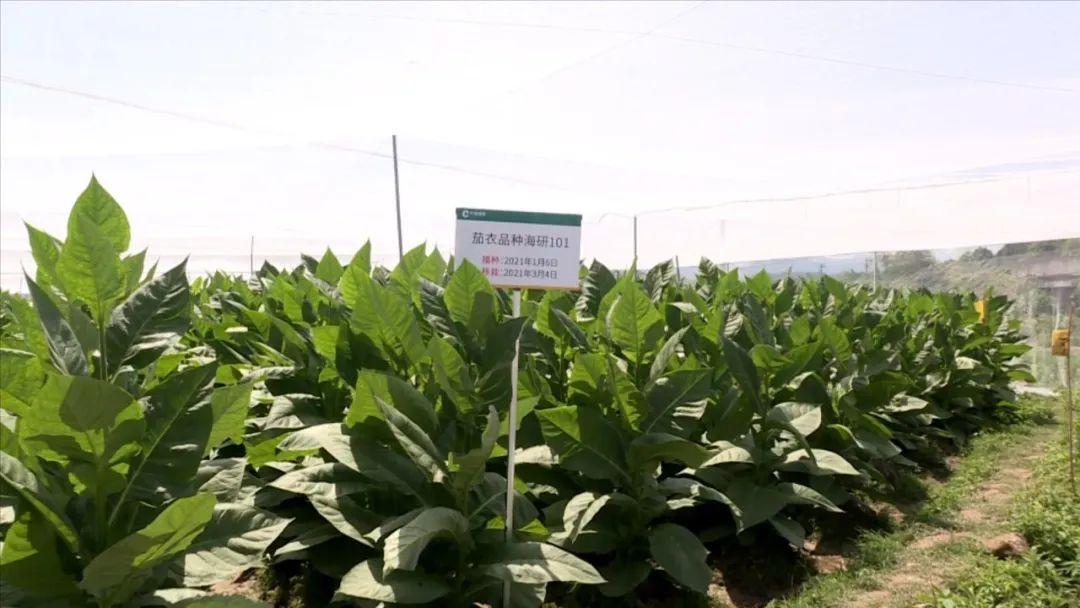 连城县开展高效经济作物的引种试验和示范种植