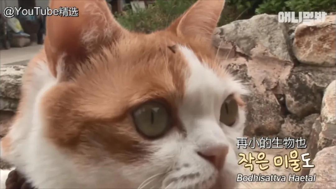 """韩国最""""佛系""""猫咪!每天虔诚拜佛,给小鱼干都无动于衷?"""