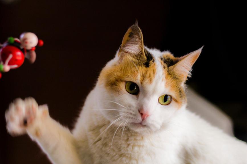 貓咪也會來大姨媽!貓咪發情怎麽辦?3招教你緩解貓咪生理期不適