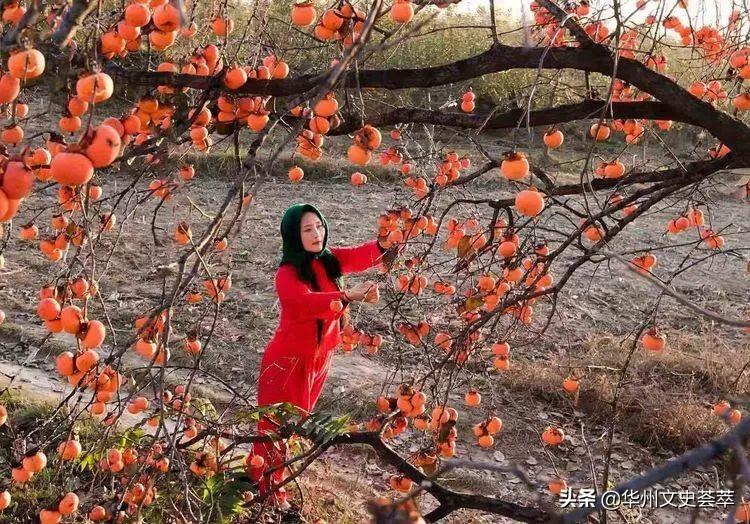 华州:柿子树 . 塬上人