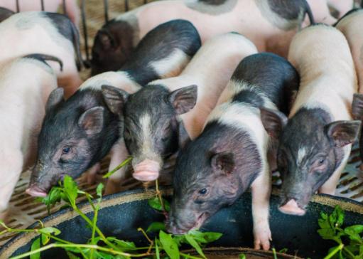 香猪养殖技术有哪些