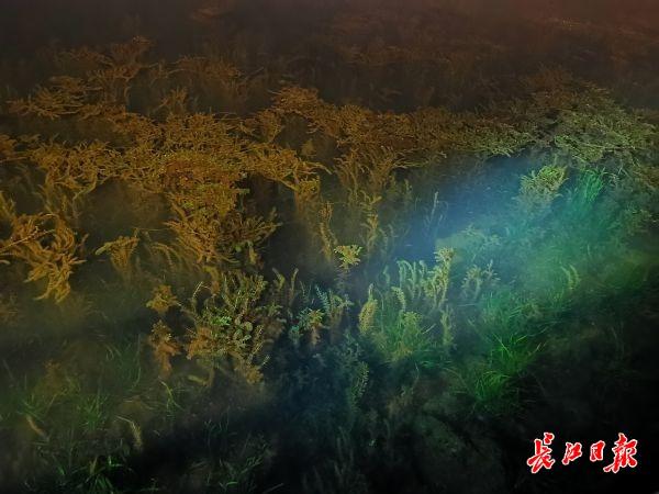 """水草摇曳鱼虾穿行,""""水下森林""""重现东湖"""