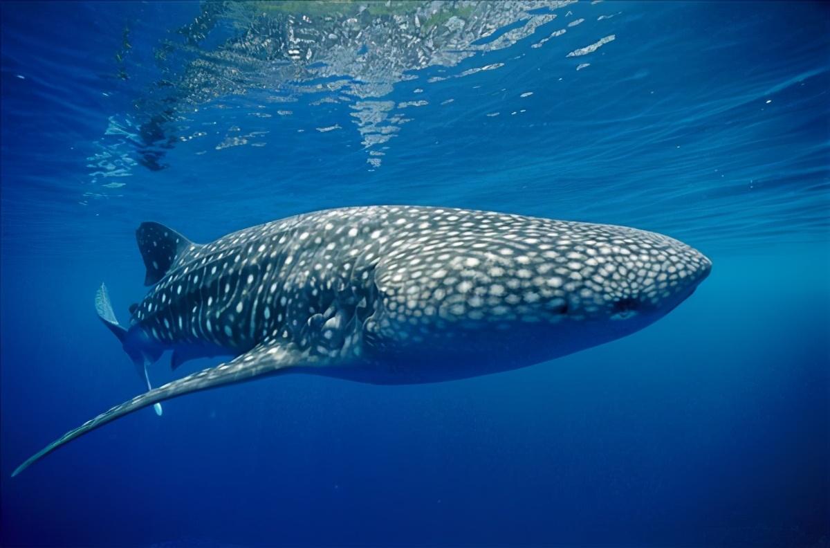 地球百科之海洋生命(1)探索鲸鲨之谜