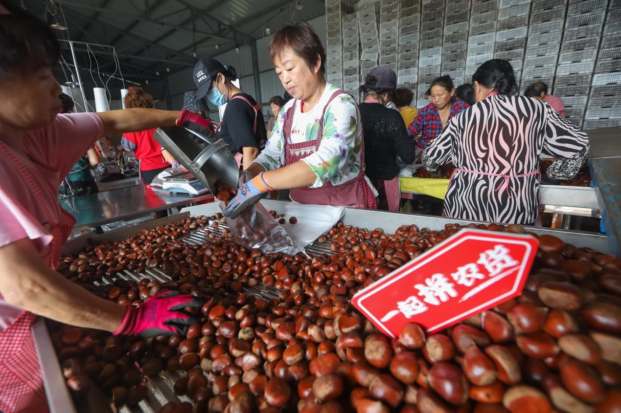 追栗人:立足罗田,打通中国板栗产业链