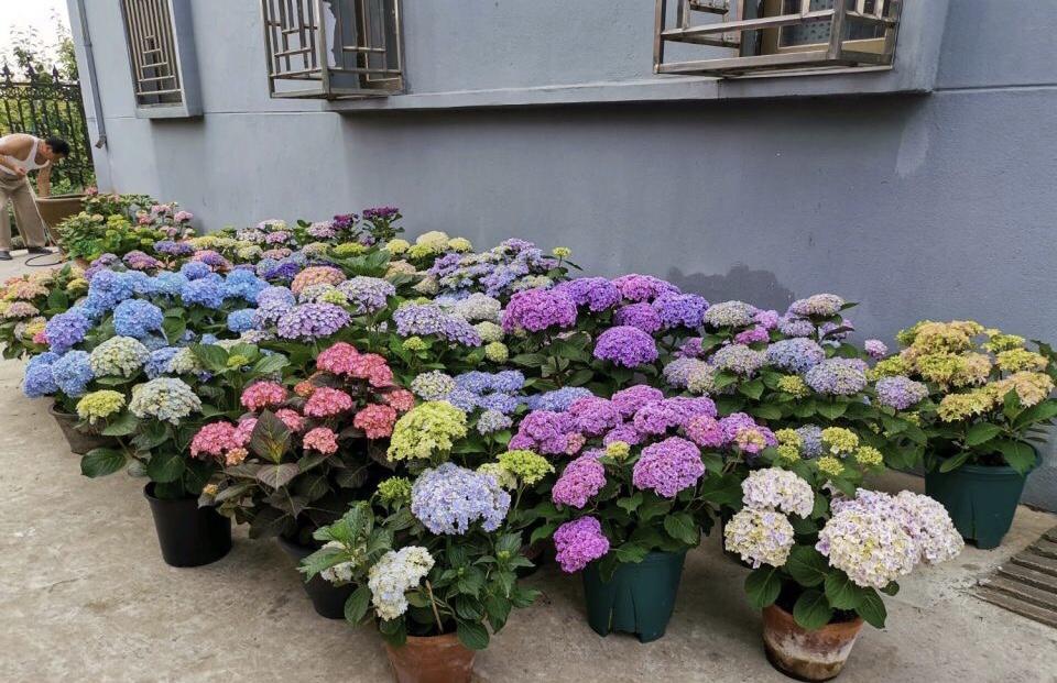 每年4月养绣球花,抓住5个要点,不出3周就是大花苞 家务 卫生 第8张