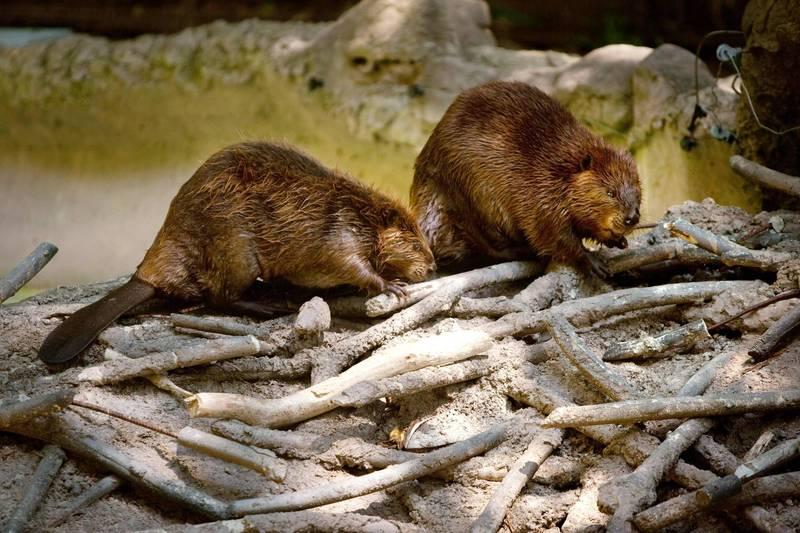 蒙古国首次报告动物感染新冠病例 7只河狸验出Delta变异株