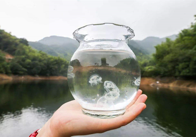 池塘中出现大量水母,形如桃花在水中翩翩起舞,完全不像海洋动物