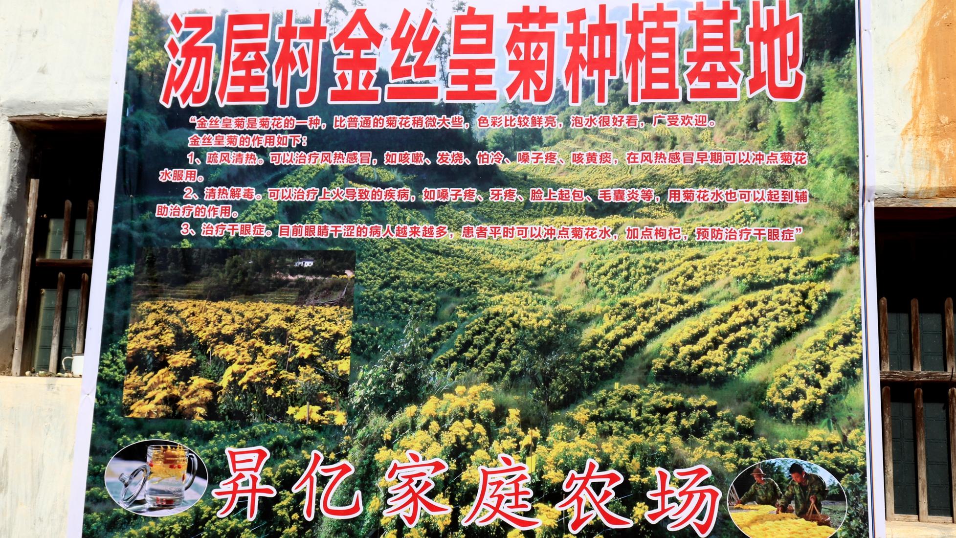 长汀四都镇:返乡大学生带领乡邻种菊花喜获丰收