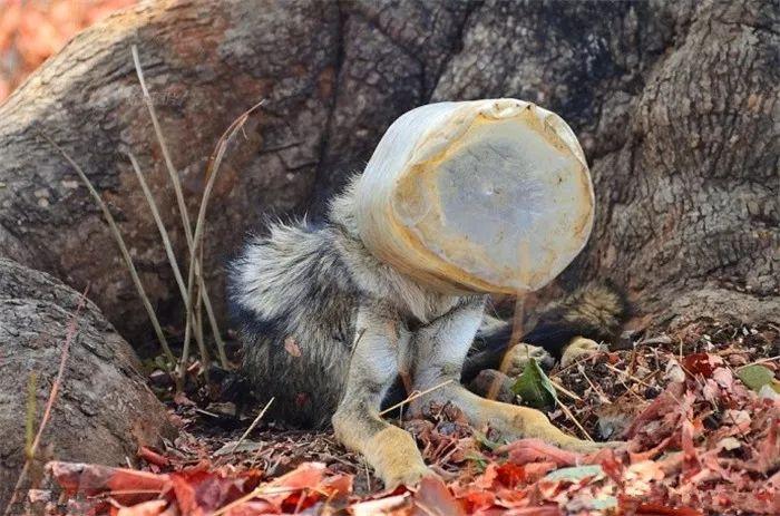 瘦狼不慎被塑料桶所困,善良小哥苦苦跟随,等待众人救助野狼!