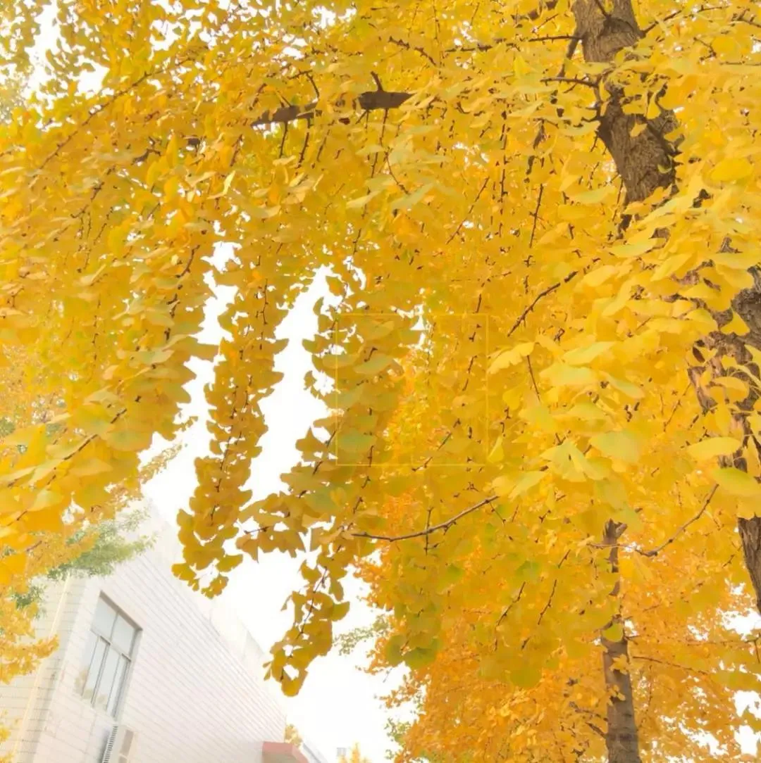 河北各高校秋景来了,有你的校园记忆吗?