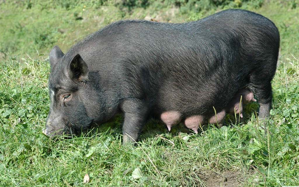 母猪产前一小时征兆(怎样判断母猪快要生了)